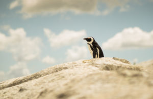 Penguin, South Africa