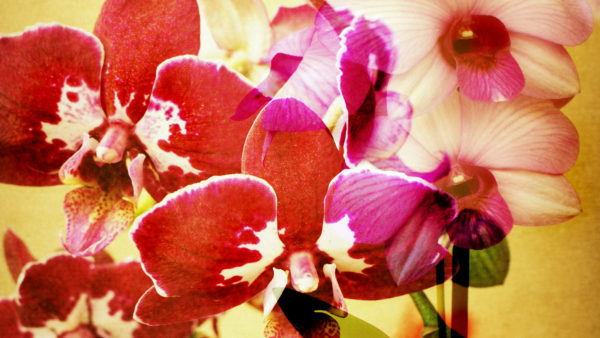 Orchid blossoming
