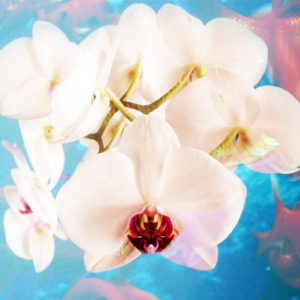 Composing with white orchid blossoms infront of blue background,