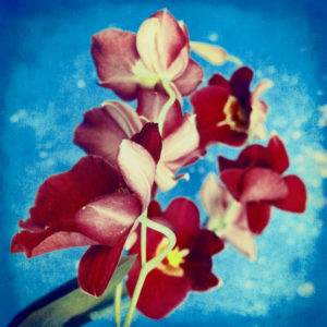 portrait of red Miltonia Orchid on blue background,