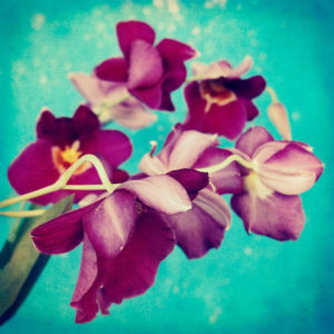 portrait of purple Miltonia Orchid on turqoise background,