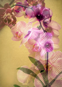 Orchids, blossoming, multiple exposure