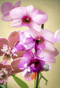 Orchids blossoming
