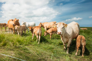 Agriculture, animal husbandry, herd of cows on pasture, cattle breed Charolais, with calves