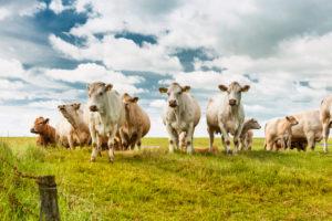 Landwirtschaft, Tierhaltung, Kuhherde auf der Weide, Rinderrasse Charolais, mit Kälbern