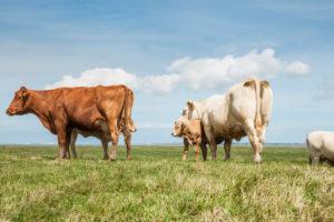 Landwirtschaft, Tierhaltung, Ostfriesland, Kuhherde auf dem Deich, Rinderrasse Charolais, mit Kälbern