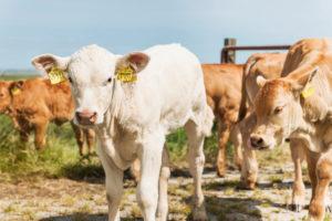 Landwirtschaft, Tierhaltung, Kälber auf der Weide, Rinderrasse Charolais