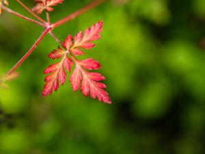 Rotes filigranes Herbstblatt vor grünem Hintergrund