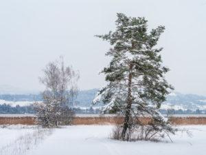 Uferlandschaft im Winter beim Pfäffikersee mit Bäumen und Schilf