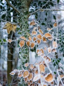 Laub im Winter mit Frost