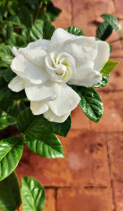 Gardenia is a genus of flowering plants in the coffee family, Rubiaceae, native to the tropical and subtropical regions of Africa, Asia, Madagascar and Pacific Islands.