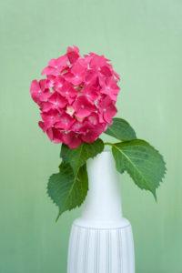 Hortensienblüte in weißer Vase