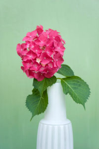Hydrangea flower in white vase