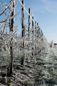 Orchard, apple trees, frost protection in the old country