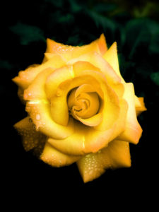 Rose blossom, detail, yellow,