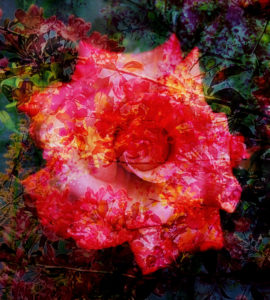Photomontage, rose petals, twigs, leaves,