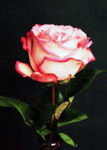 Rose blossom,