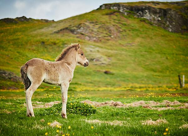 Icelandic foal on a field