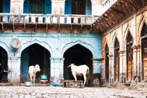 sacred cows, calf drinking, backyard, archways, architecture, India, Vrindavan