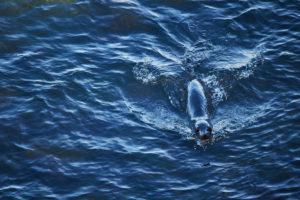 Neuseeland, Südinsel, Pelzrobbe schwimmt im Meer, tiefblaues Wasser, einheimischer Seebär