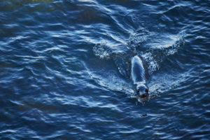 New Zealand, south island, seal swims in the sea, deep blue water, local fur seal