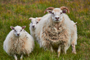 Iceland sheep in field