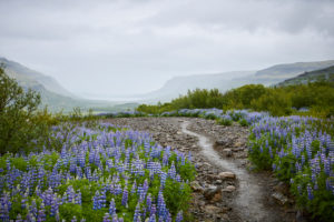 Iceland, lupine fields in summer