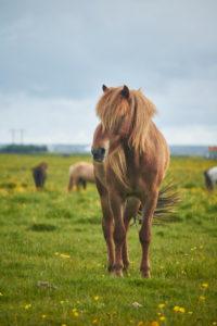 Isländische Pferde, die auf einem grasing Feld stehen
