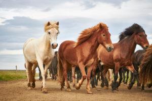 Isländische Pferde, die in eine Herde laufen