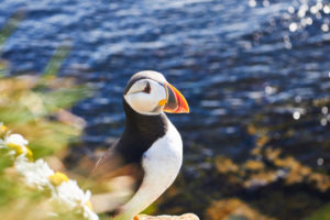 puffin in iceland on a cliff