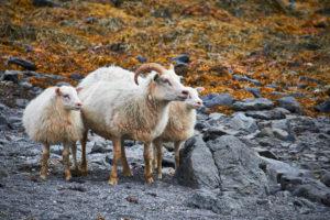 sheep in icelands westfjords