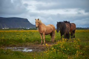 three Icelandic horses standing on a field
