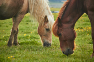two Icelandic horses standing on a field grasing