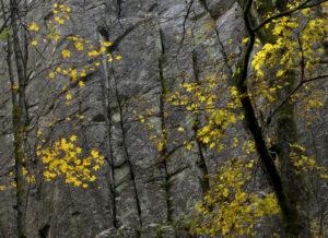Deutschland, Hessen, Naturpark Hessische Rhön, UNESCO-Biosphärenreservat, herbstbunter Ahorn vor der Steinwand bei Poppenhausen, Herbst