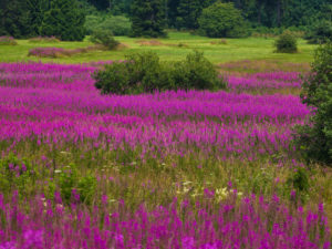 Germany, Bavaria, Rhön Biosphere Reserve, UNESCO biosphere reserve, Long Rhön Nature Reserve, crimson inflorescences of the fireweed