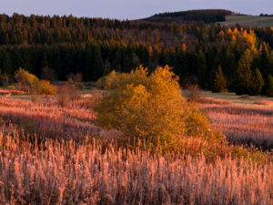 Germany, Bavaria, Rhön Biosphere Reserve, UNESCO biosphere reserve, Long Rhön Nature Reserve, inflorescence of the fireweed in the morning light