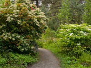 Ireland, Donegal, Glenveagh national park, way through blossoming andromedas and viburnum in the Glenveagh-Forest