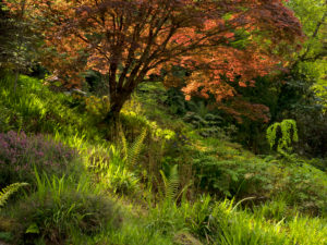 Ireland, Donegal, Glenveagh national park, bright red maple in the Glenveagh-Forest