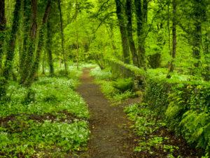Irland, County Wexford, Weg zwischen blühendem Bärlauch im Küstenurwald der Hook Halbinsel, Buchenwald, efeuberankte Mauer, Farne,