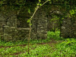 Irland, County Wexford, Ruine im Küstenurwald der Hook Halbinsel, blühender Bärlauch, Efeu, Farne