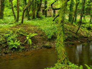 Irland, County Wexford, Hütte am Bachlauf im Küstenurwald der Hook Halbinsel, blühender Bärlauch, Efeu, Farne, bemooste Baumstämme