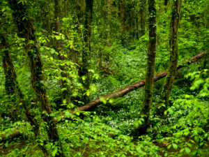 Irland, County Wexford, efeuberankte Buchen im Küstenurwald der Hook Halbinsel, blühender Bärlauch, Efeu