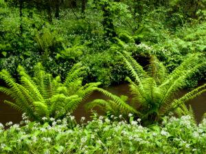 Irland, County Wexford, Farne am Bachlauf im Küstenurwald der Hook Halbinsel, Buchenwald, Efeu