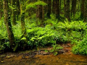 Irland, County Wexford, Bachlauf mit blühendem Bärlauch im Küstenurwald der Hook Halbinsel, Buchenwald, Fichten, Farne, Efeu