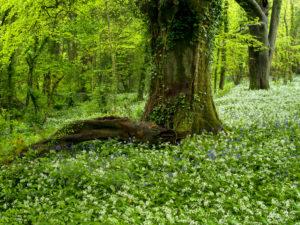 Irland, County Wexford, alte Buchen mit Efeuranken zwischen blühendem Bärlauch und Bluebells im Küstenurwald der Hook Halbinsel, Buchenwald