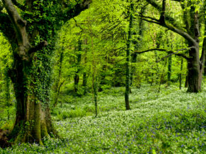 Irland, County Wexford, alte Buchen mit Efeuranken zwischen blühendem Bärlauch im Küstenurwald der Hook Halbinsel, Buchenwald