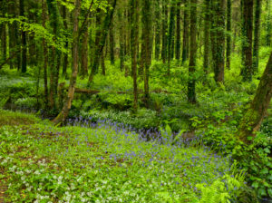 Irland, County Wexford, blühende Bluebells und Bärlauch im Küstenurwald der Hook Halbinsel, Farne, Buchenwald