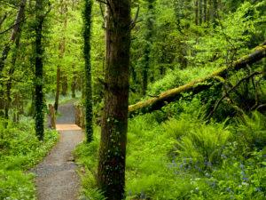 Irland, County Wexford, Weg mit Holzbrücke im Küstenurwald der Hook Halbinsel, Farne, blühender Bärlauch, Buchenwald, gestürzte Buche