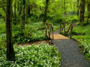 Irland, County Wexford, Weg mit Holzbrücke im Küstenurwald der Hook Halbinsel, Farne, blühender Bärlauch, Buchenwald