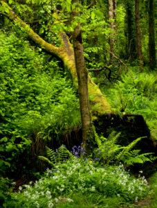 Irland, County Wexford, gestürzte Buche im Küstenurwald der Hook Halbinsel, Farne, blühender Bärlauch